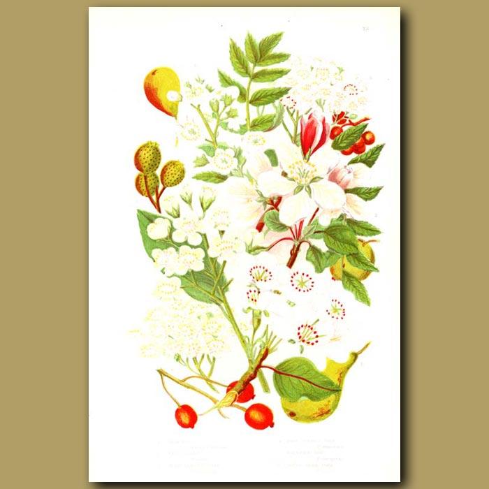 Antique print. Wild Pear,Crab Apple, Wild Service Tree, True Service Tree, Mountain Ash and White Beam Tree