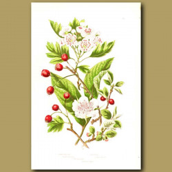 Common Medlar, Hawthorn and Cotoneaster
