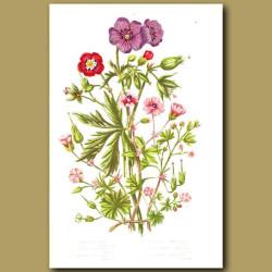 Cranesbill flowers