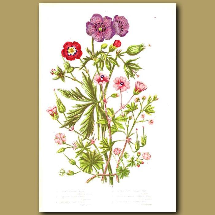 Antique print. Cranesbill flowers