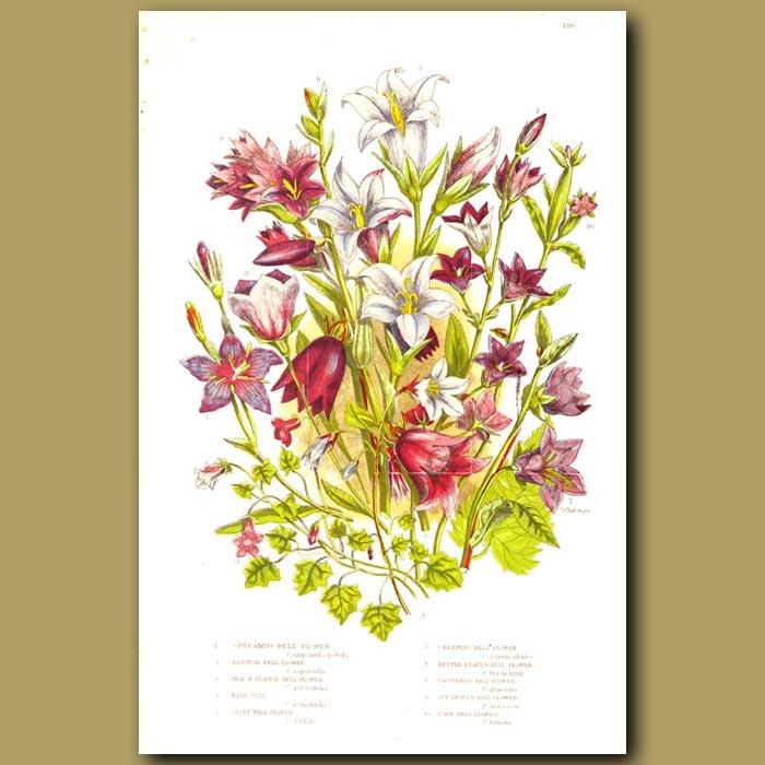 Antique print. Bellflowers