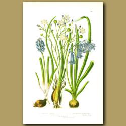 Variegated Simethis, Blue Bell, Starch Grape Hyacinth