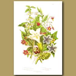 Thorn Apple, Henbane, Bittersweet and Common Nightshade