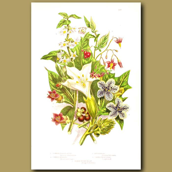 Antique print. Thorn Apple, Henbane, Bittersweet and Common Nightshade