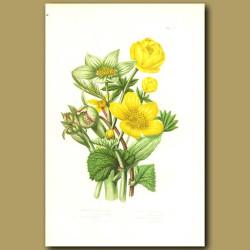 Mountain Globe Flower, Marsh Marigold, Green Hellebore and Stinking Hellebore