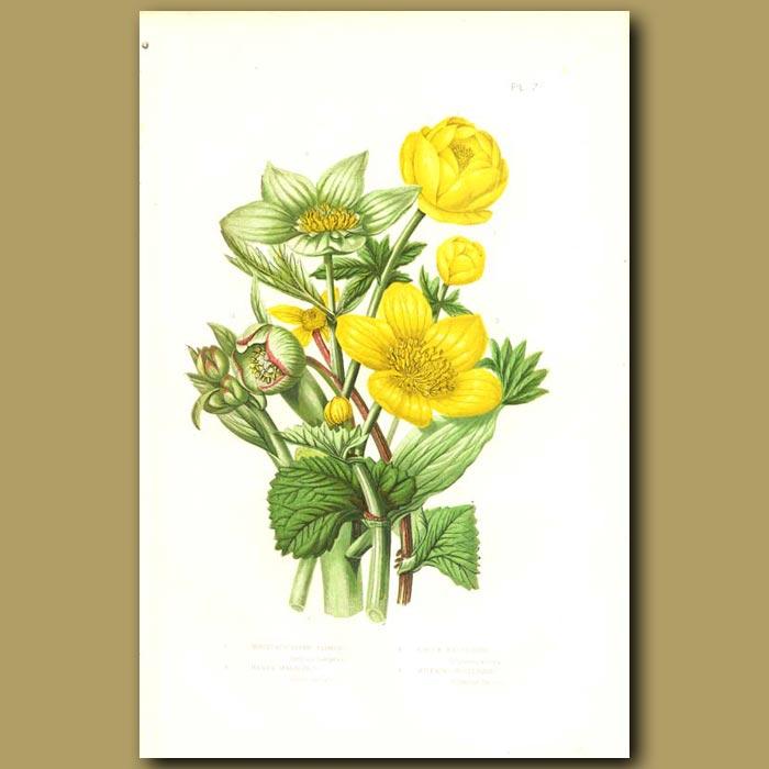 Antique print. Mountain Globe Flower, Marsh Marigold, Green Hellebore and Stinking Hellebore