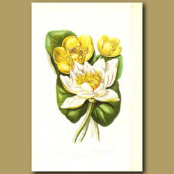 White Water Lily, Least Water Lily and Common Yellow Water Lily