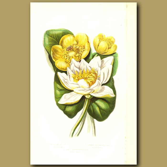 Antique print. White Water Lily, Least Water Lily and Common Yellow Water Lily