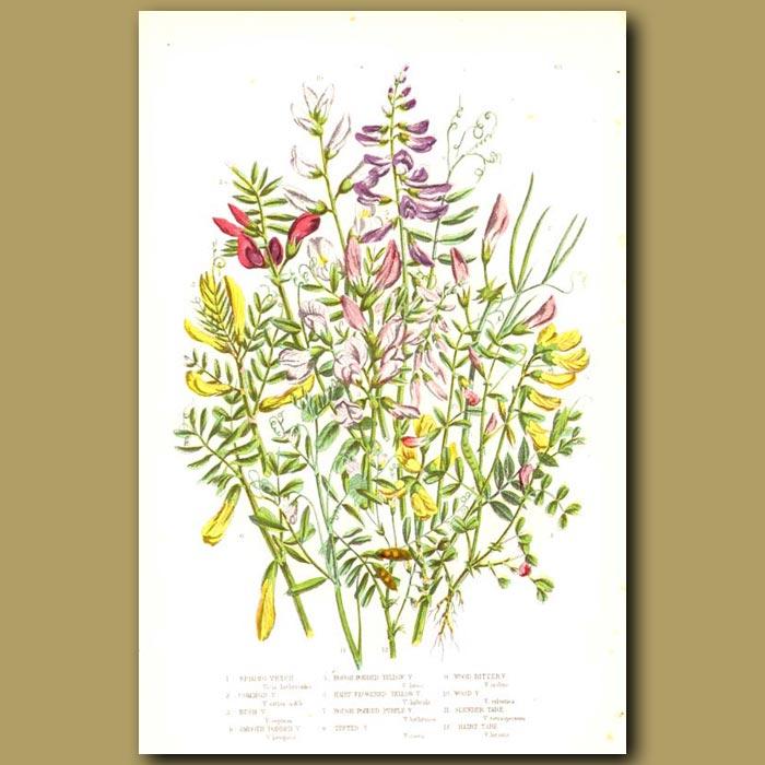 Antique print. Vetch flowers