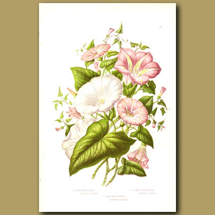 Antique print. Field, Great and Sea Bind-weed (Convulvulus)
