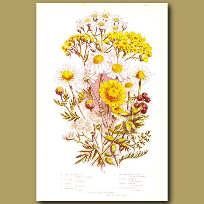 Antique print. Chamomile flowers