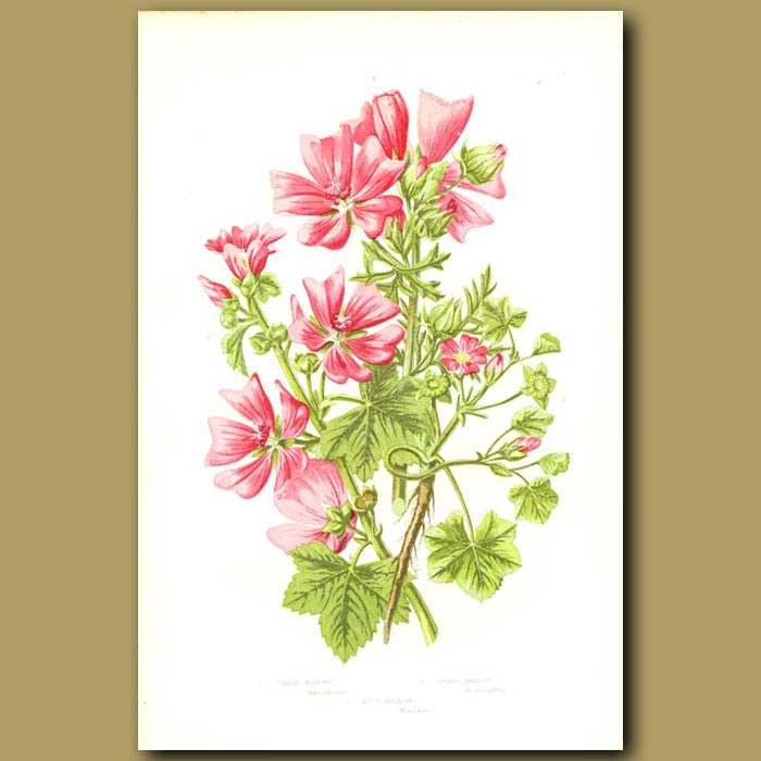 Antique print. Common, Dwarf and Musk Mallow