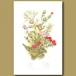 Campion and Catchfly flowers
