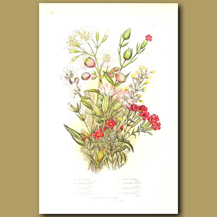 Antique print. Campion and Catchfly flowers
