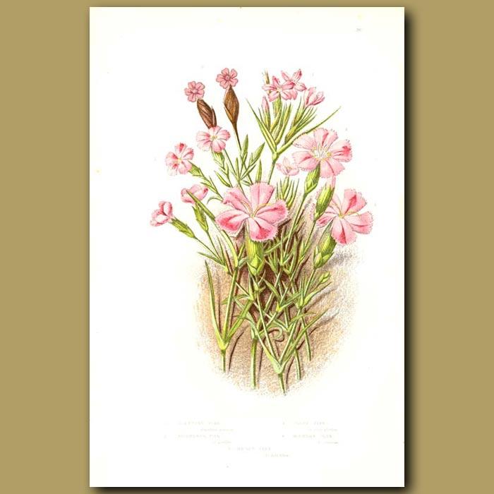 Antique print. Dianthus flowers ( Pinks)