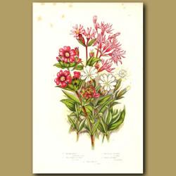 Ragged Robin, Red Alpine Cathchfly and White Catchfly