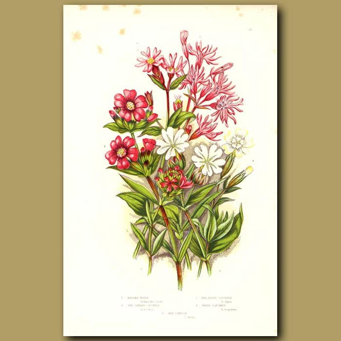 Antique print. Ragged Robin, Red Alpine Cathchfly and White Catchfly