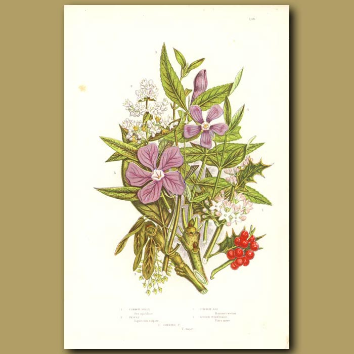Antique print. Common Holly, Ash, Privet and Periwinkle