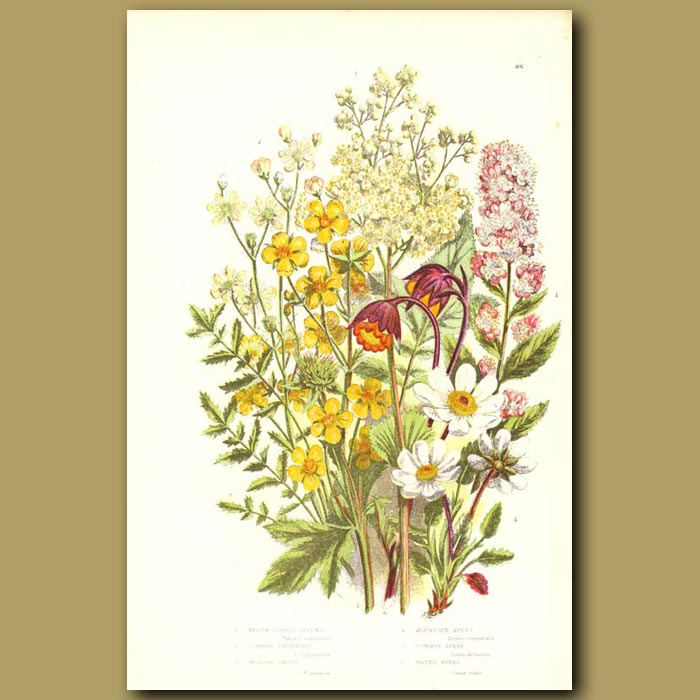 Antique print. Mountain Avens,Common Dropwort and Meadow Sweet