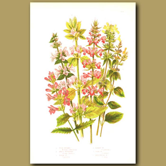 Antique print. Wood Betony, Hedge Woundwort and Marsh Woundwort