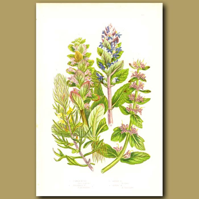 Antique print. Bugle Flowers