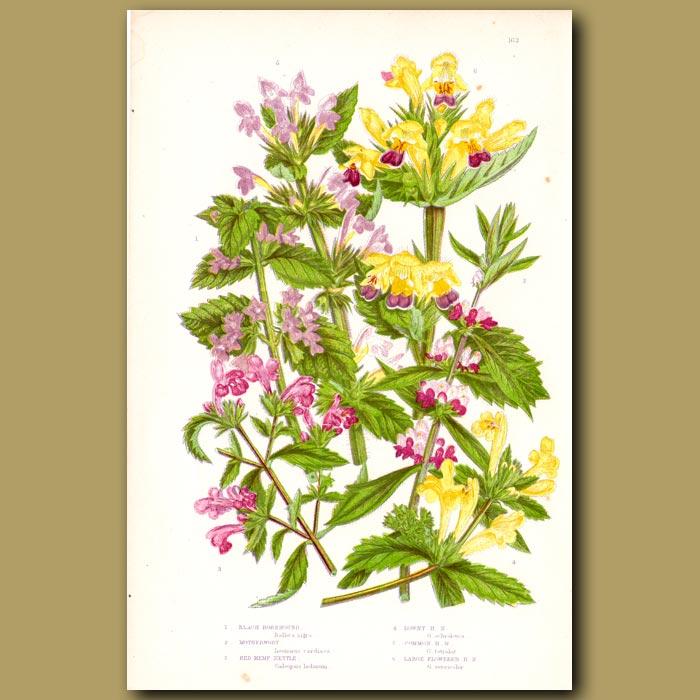 Antique print. Black Horehound, Motherwort and Hemp Nettle