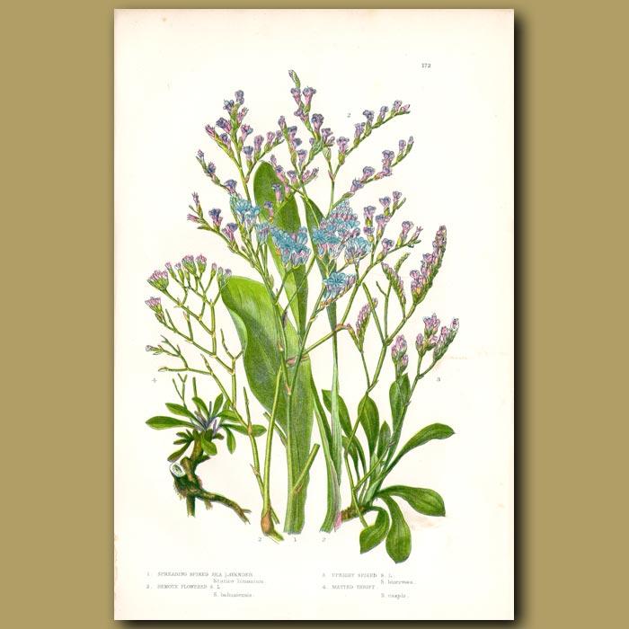 Antique print. Sea Lavender flowers