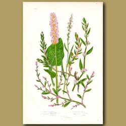 Buckwheat and Knot Grass