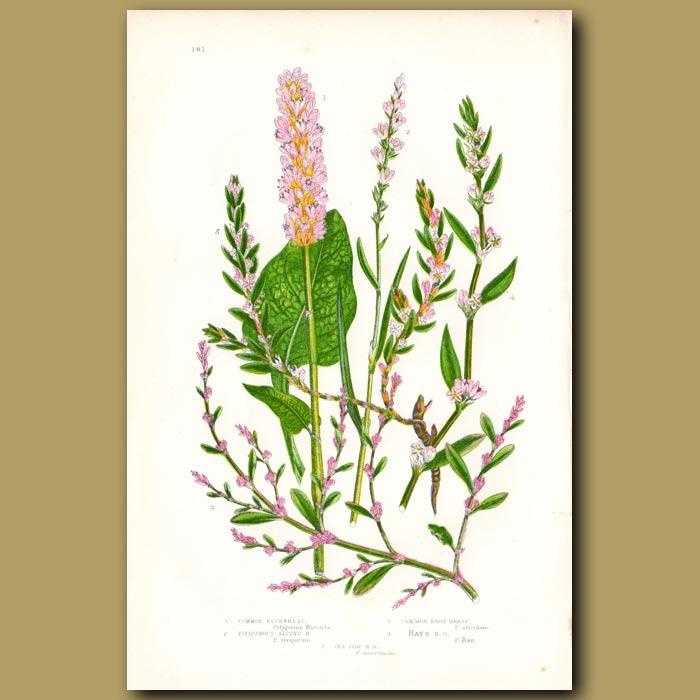 Antique print. Buckwheat and Knot Grass