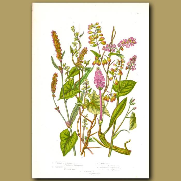 Antique print. Buckwheat flowers