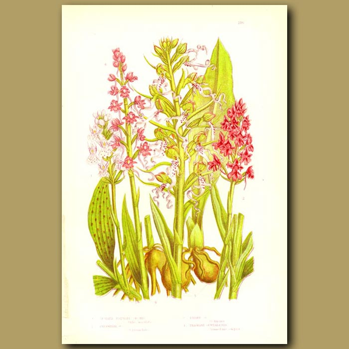 Antique print. Palmate Orchis, Lizard Orchis and Pyramidal Orchis