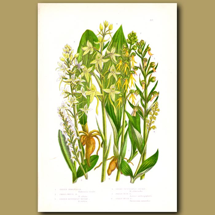 Antique print. Butterfly Orchids