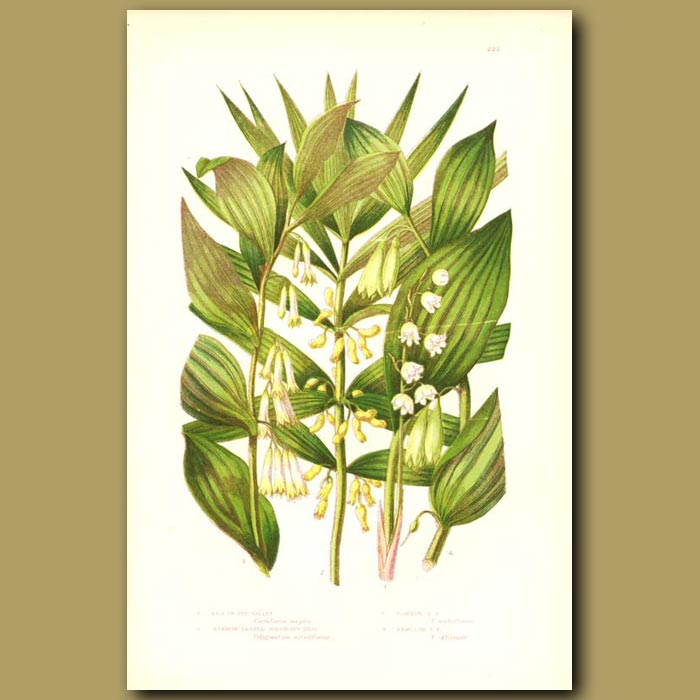 Antique print. Lily of the Valley and Solomon's Seal