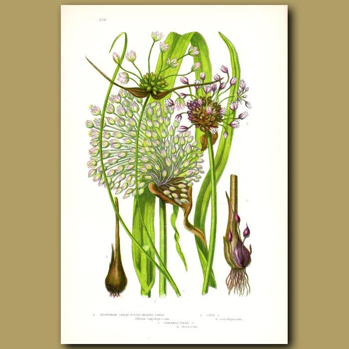 Antique print. Great Round Headed Garlic and Sand Garlic
