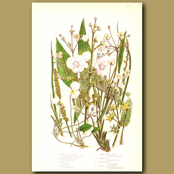 Antique print. Star Fruit, Water Plantain and Arrow-head