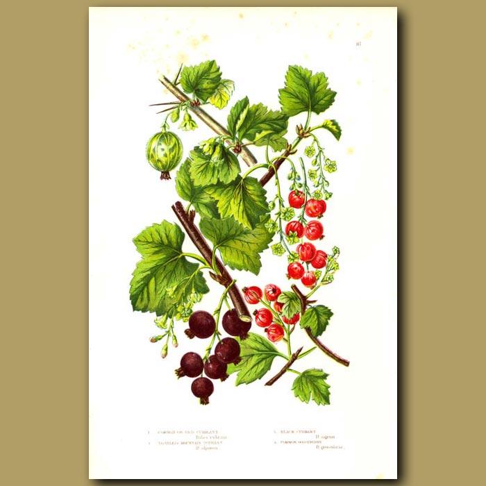 Antique print. Red Currants, Black Currants and Gooseberries