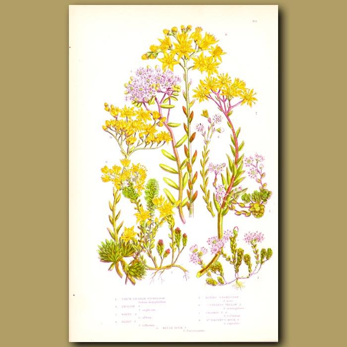 Antique print. Stonecrop flowers