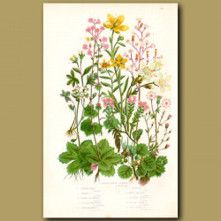 Saxifrage flowers