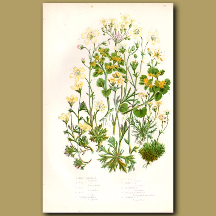 Antique print. Saxifrage flowers