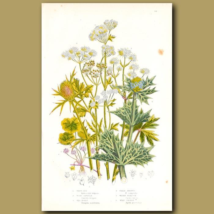 Antique print. Sea Holly, Water Hemlock, Wild Celery