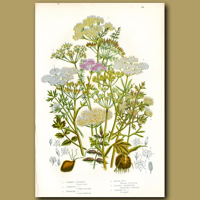 Antique print. Caraway, Earth Nut and Saxifrage