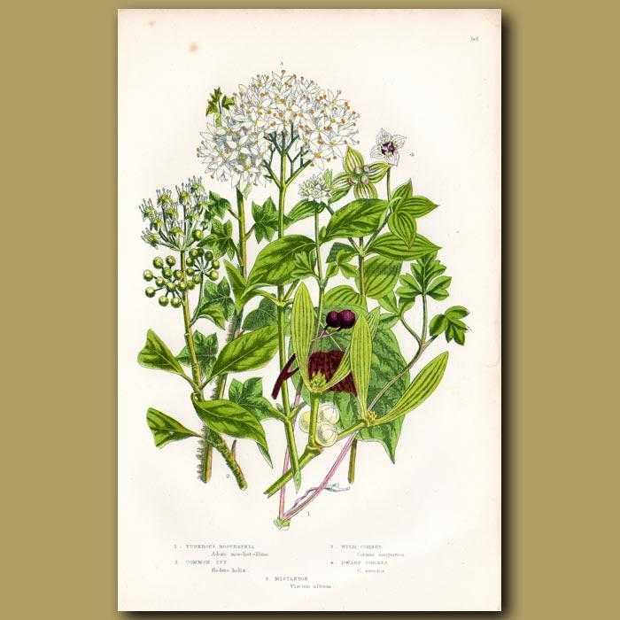 Antique print. Ivy and Cornel flowers