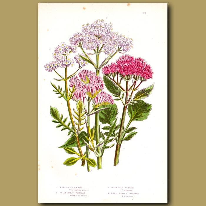 Antique print. Valerian flowers