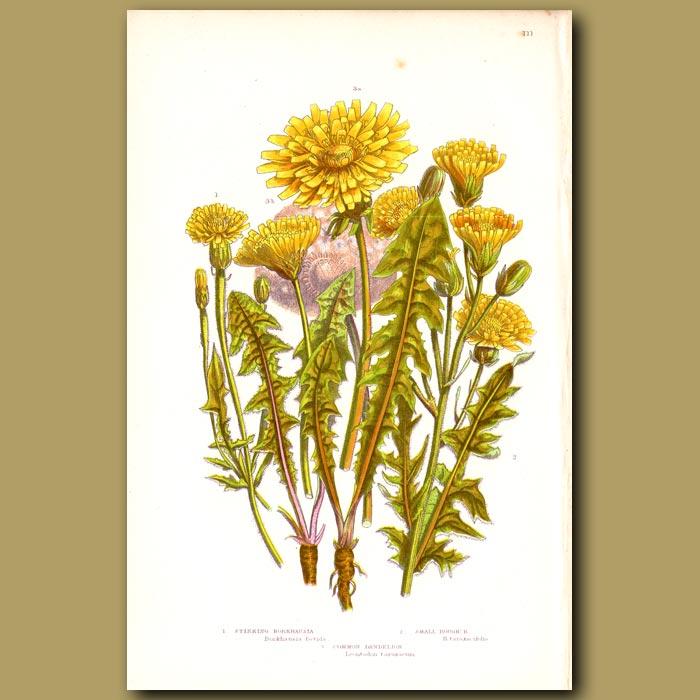 Antique print. Stinking Borkhausia and Dandelion