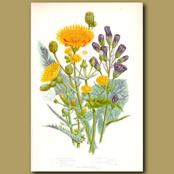 Antique print. Sow Thistle flowers