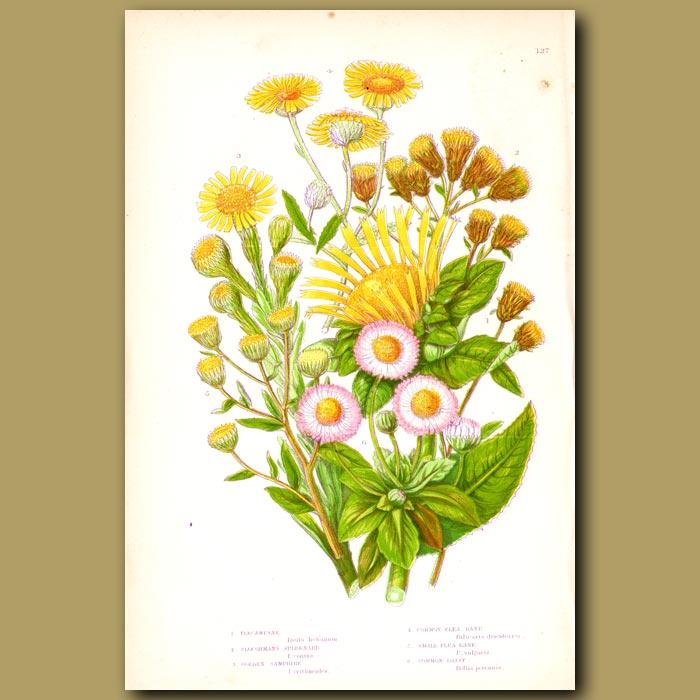 Antique print. Golden Samphire, Flea Bane, Daisy