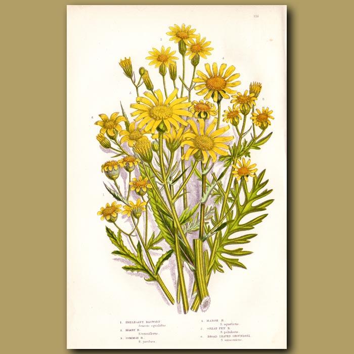 Antique print. Ragwort flowers