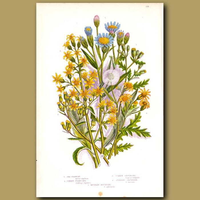 Antique print. Sea Starwort, Golden Ros, Groundsel