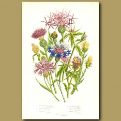Knapweed, Star Thistle and Corn Blue Bottle