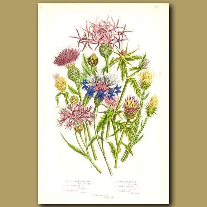 Antique print. Knapweed, Star Thistle and Corn Blue Bottle
